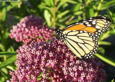http://3.bp.blogspot.com/_ckBlasgNSzg/R6YE0bvNeUI/AAAAAAAADoE/jaYMsKs1Wb4/s400/Copy+of+Monarch+Butterfly.jpg