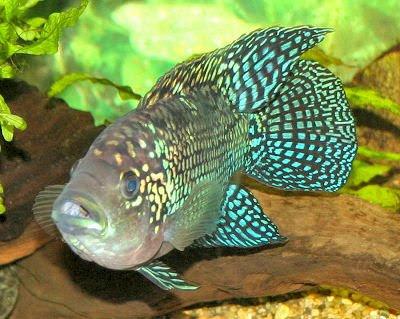 Fish index jack dempsey fish cichlasoma octofasciatum for African cichlid fish
