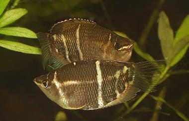 Fish Index: Chocolate Gourami (Sphaerichthys osphromenoides)