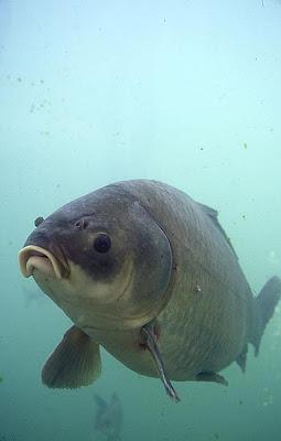 Fish index bigmouth buffalo ictiobus cyprinellus for Fried buffalo fish