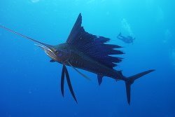 Sailfish (Fastest Fish In The World)