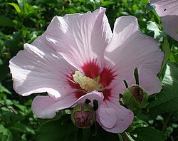 Pink Rose Of Sharon Seeds Now Available!
