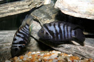 Cichlidés et petits aquariums: suggestions (1ère partie) Convict+Cichlids
