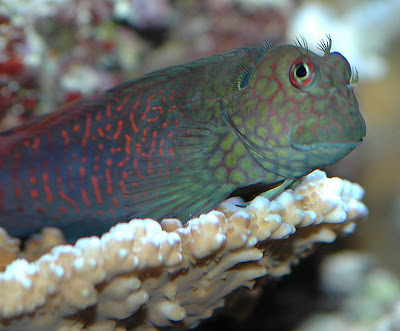 fish index ember blenny cirripectes stigmaticus