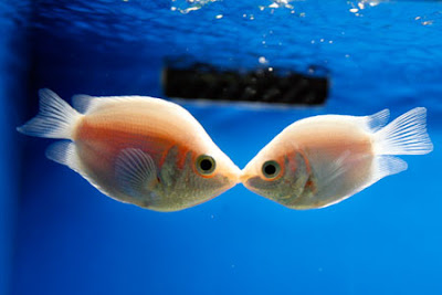 Fish Index: Kissing Gourami (Helostoma temmincki)