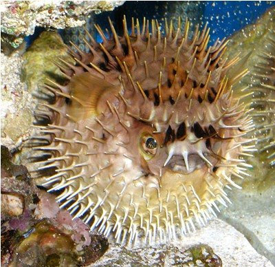 Fish index porcupine puffer diodon holocanthus for Blowfish vs puffer fish