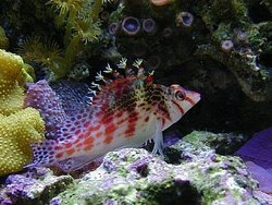 Falco Hawkfish