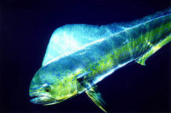 Mahi Mahi Or Dolphin Fish