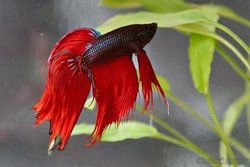 Siamese Fighting Fish - Doesn't Play Well With Others
