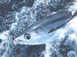 Albacore