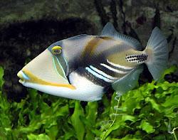 Huma Huma Triggerfish
