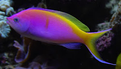 Bartlett&#39;s Anthias