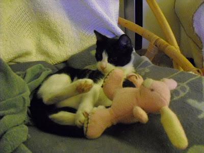 gatito adoptar soy un gato
