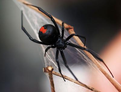 red back spider bites pictures. red back spider bites pictures