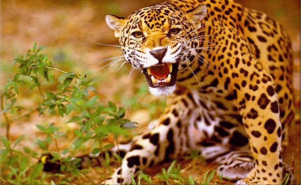 Wallpaper Animal: Jaguar