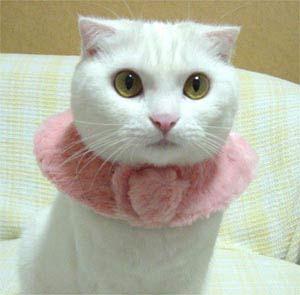 Nih, kucing lucu banget, putih dikasih kalung bando bul