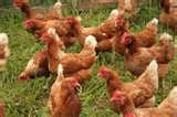 Brown laying hens