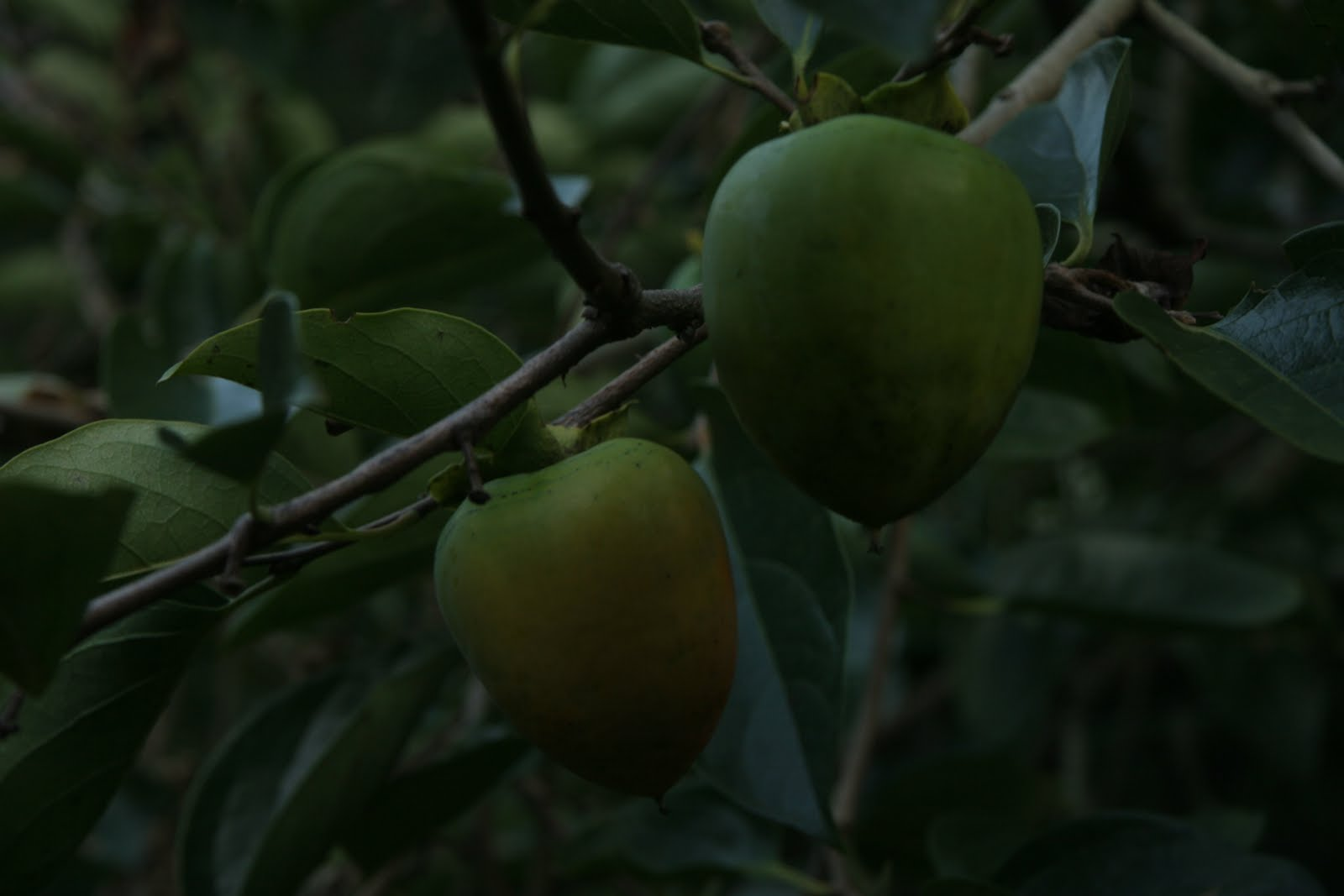 how to make persimmon extract