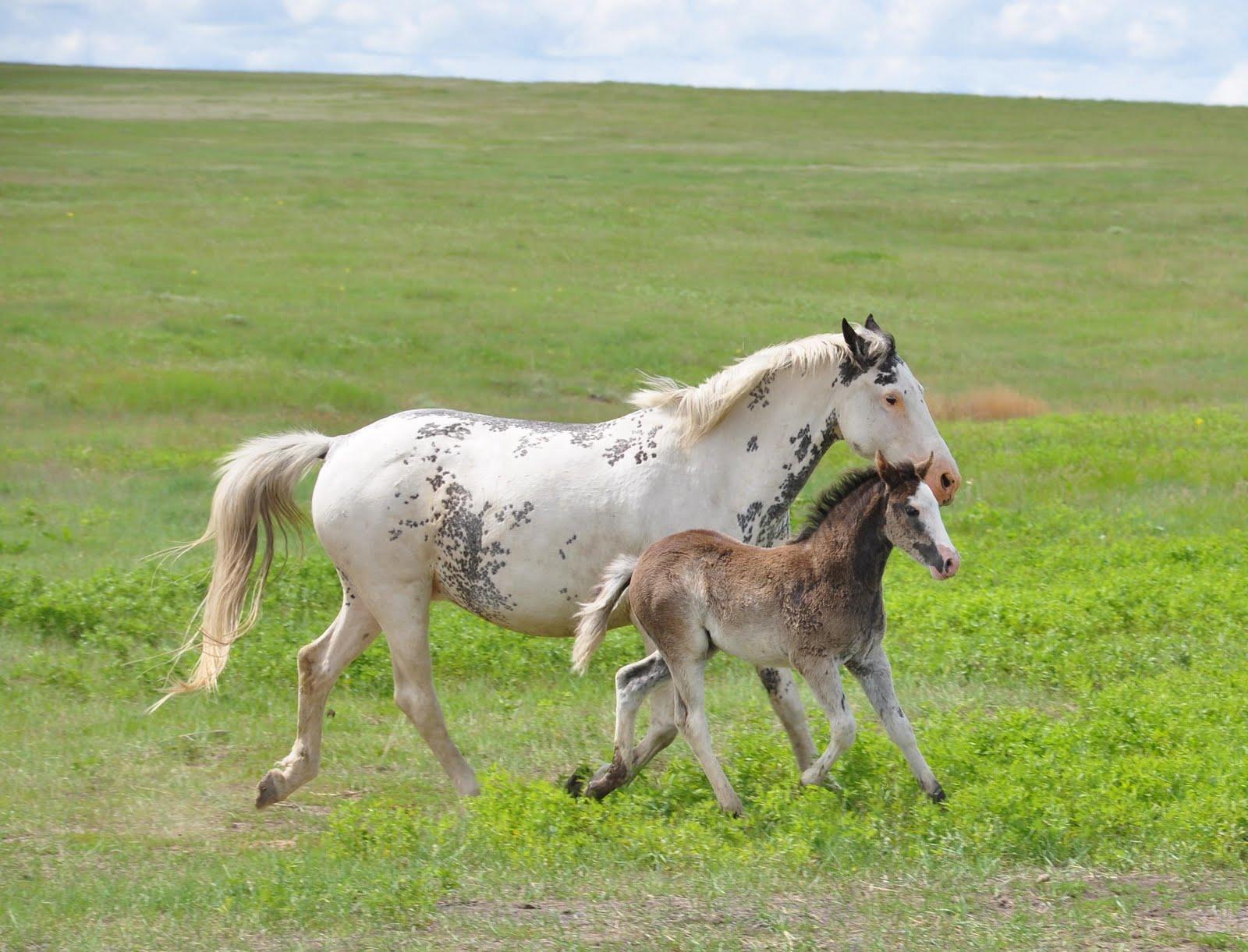Takoda Spanish Mustangs Australias First Spanish Mustang