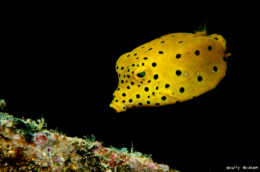Last Flight Out Photography: The Spotted Box Fish