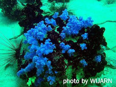 ซอฟต์คอรัล(ปะการังอ่อน)