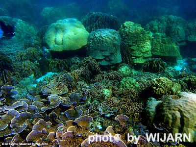 ปะการัง - Coral