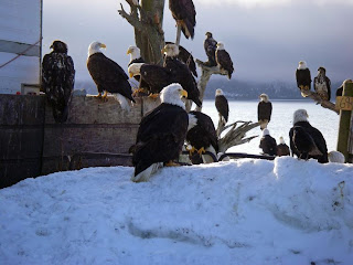 eagles in Alaska