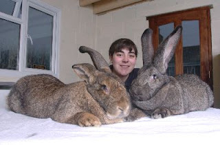 two giant rabbit in da house