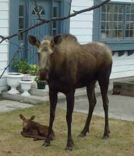 the moose and her baby in front of house