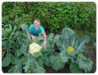 special plant giant cauliflower