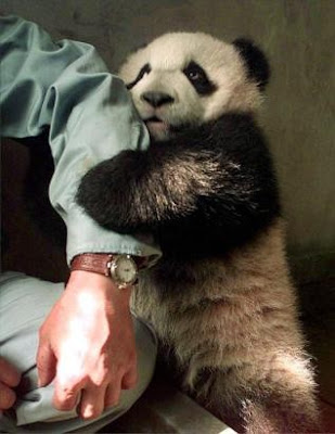 horny panda holding man's hand