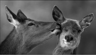 love couple deer