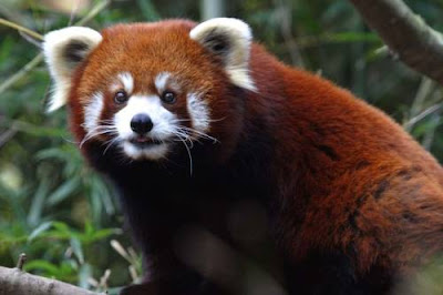 firefox is common name for red panda