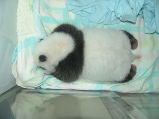 quite big baby panda