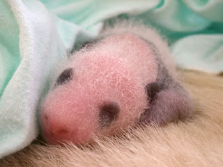 baby panda in incubator