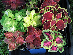 Thy name is Coleus: