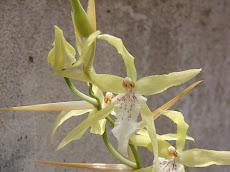 Miltonia flavencis. Orquidea autóctona de la provincia de Misiones - Argentina.