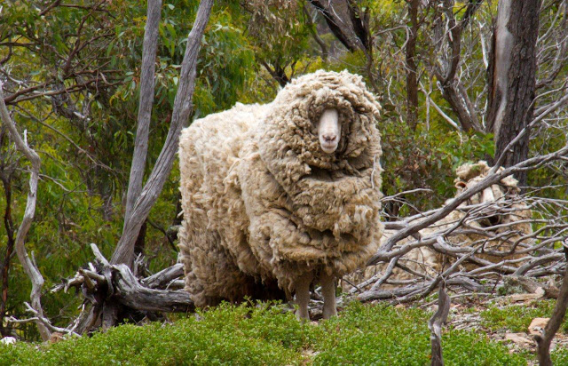 sheep with thick wool