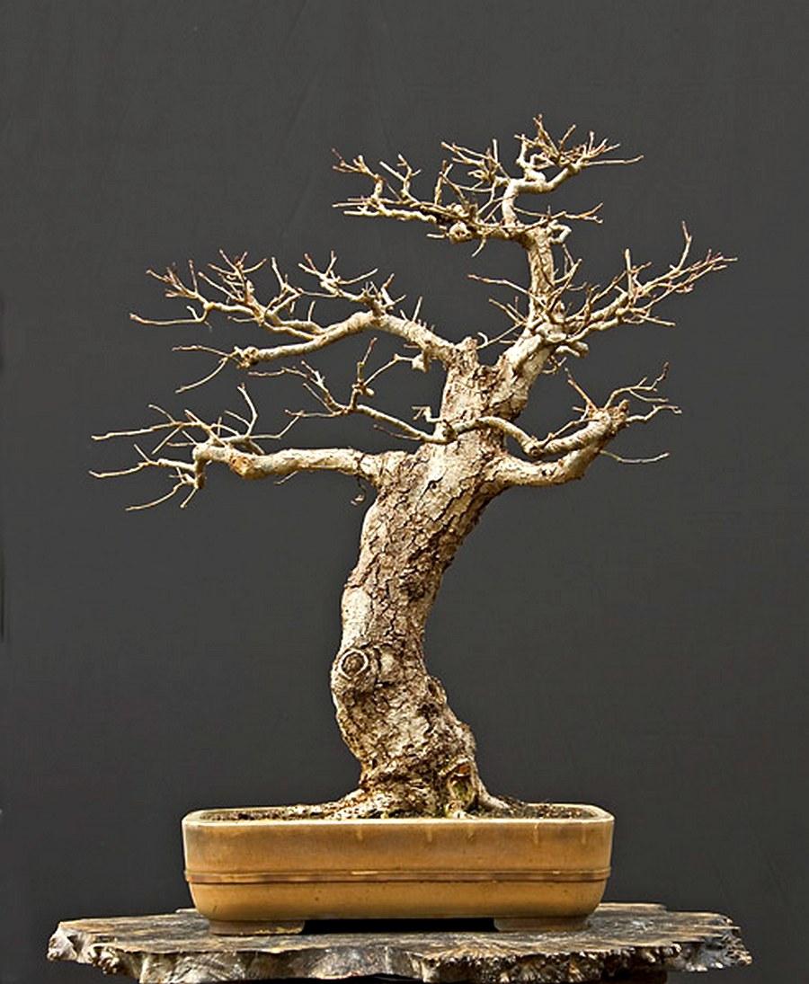 Tae Kukiwon Bonsai Walter Pall E Suas Rvores Maravilhosas