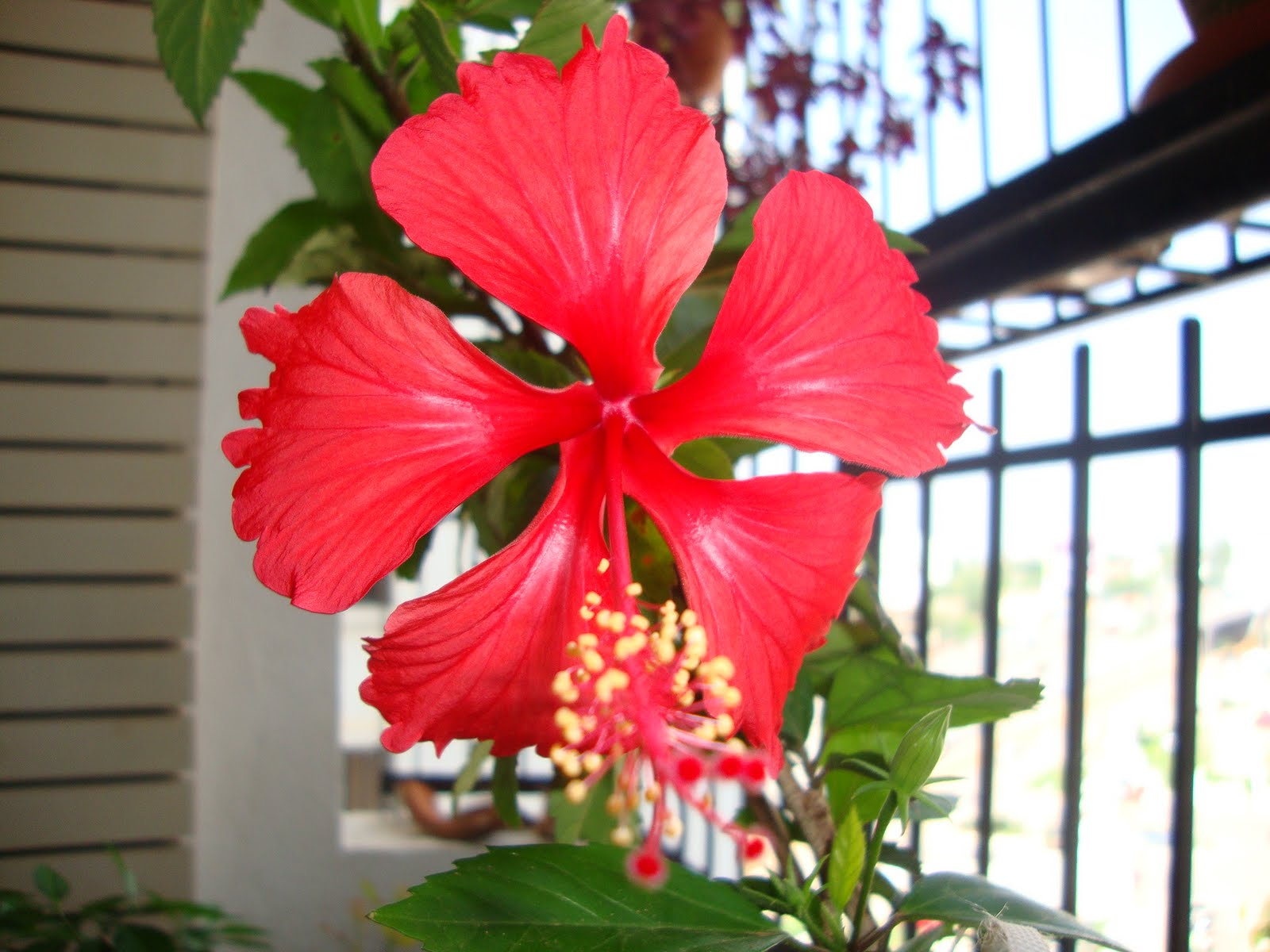 My balcony garden hibiscus experience part 1 hibiscus experience part 1 izmirmasajfo