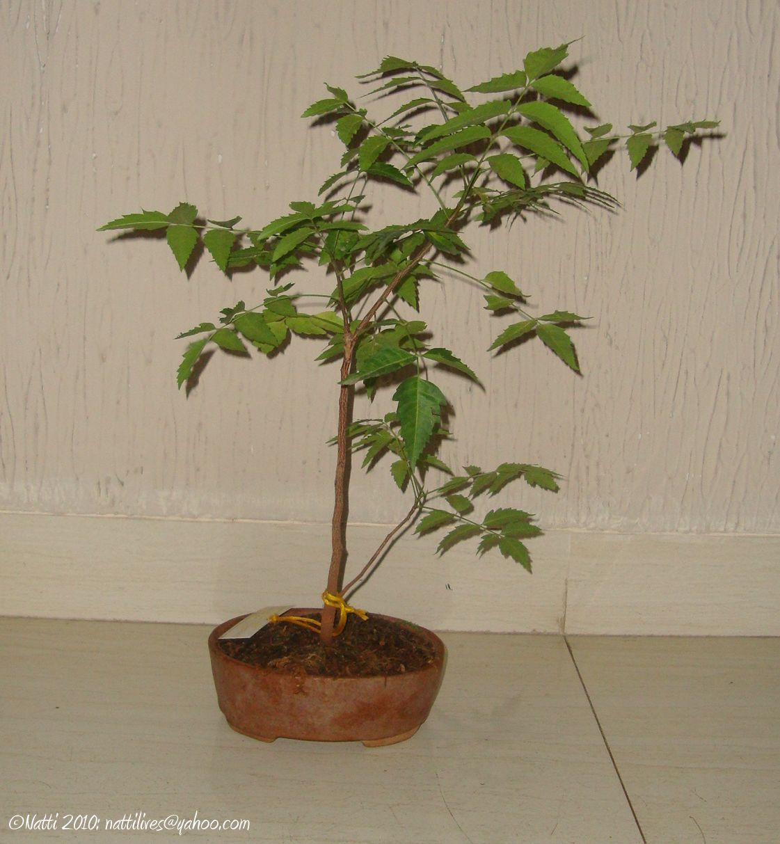My Balcony Garden Succumbing To Temptation The Neem Bonsai
