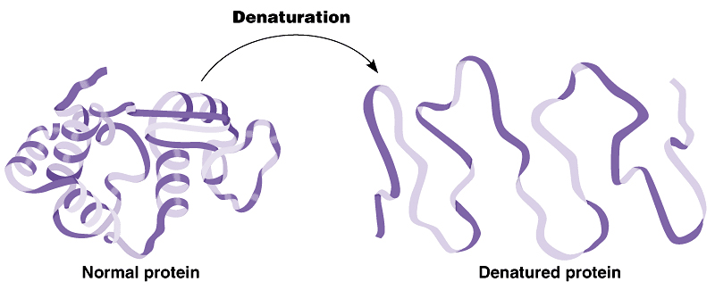 denaturing of proteins At the molecular level, natural proteins are shaped like coils or springs when natural proteins are exposed to heat, salt, or acid, they denature—that is, their.