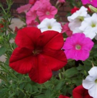 perky petunias
