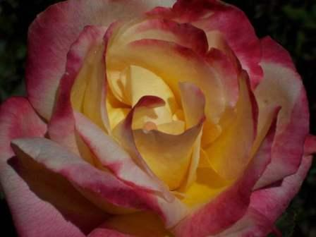 rose from the Biltmore rose garden