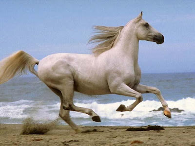 white horses jumpings/runnings horses onthe beach photos pictures