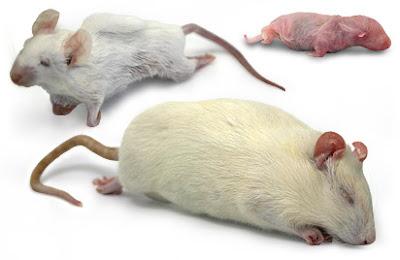 Rats & mice pictures/small rats & big rats pics