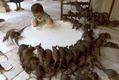 pictures of Rats in india/Rats in house pics