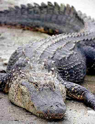 crocodiles and alligators pictures