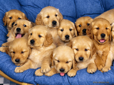 photos of golden retriever puppy/puppies wallpapers