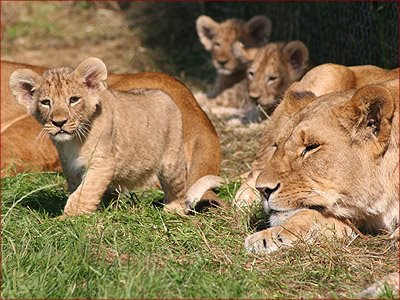 African lion cubs and lions video pics-lions zoo wallpapers